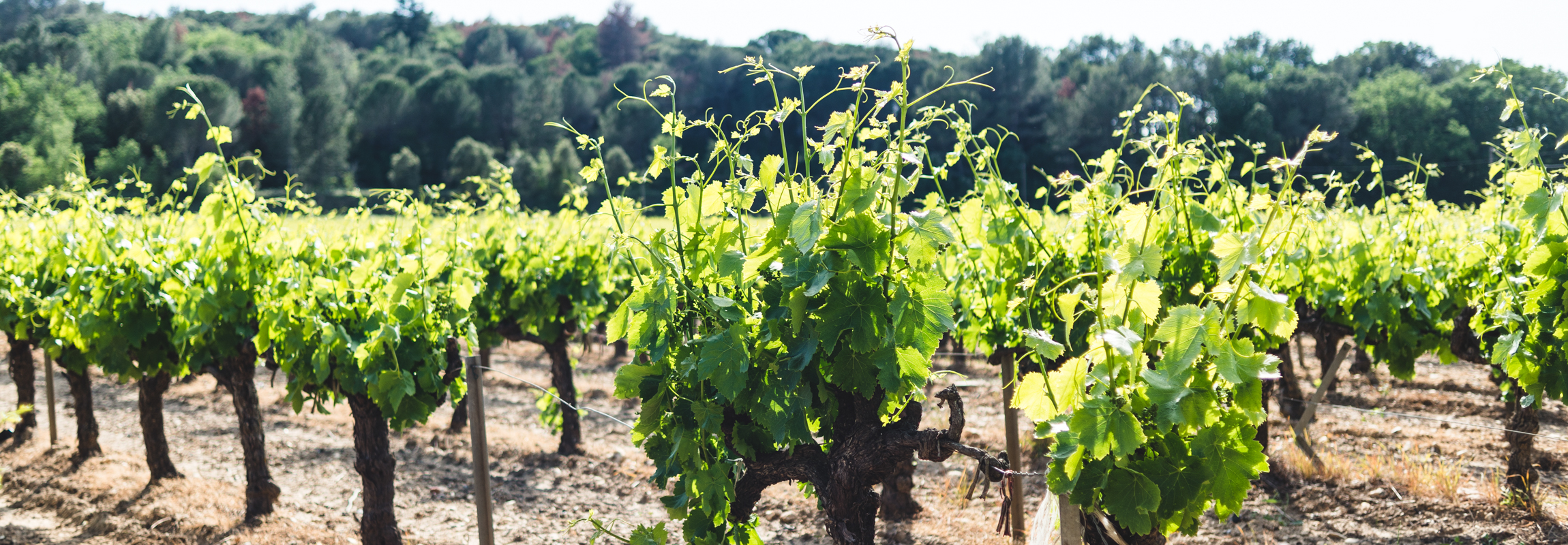Vines around Château de Montaud