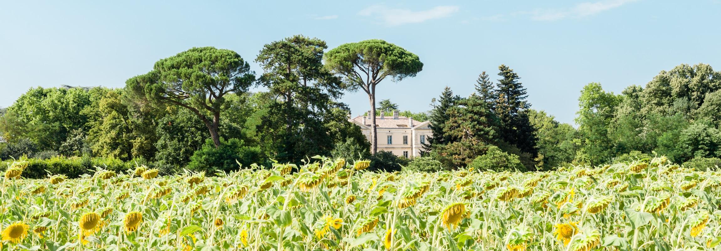 Sonnenblumenfeld, Château de Montcaud Hotel Provence Südfrankreich