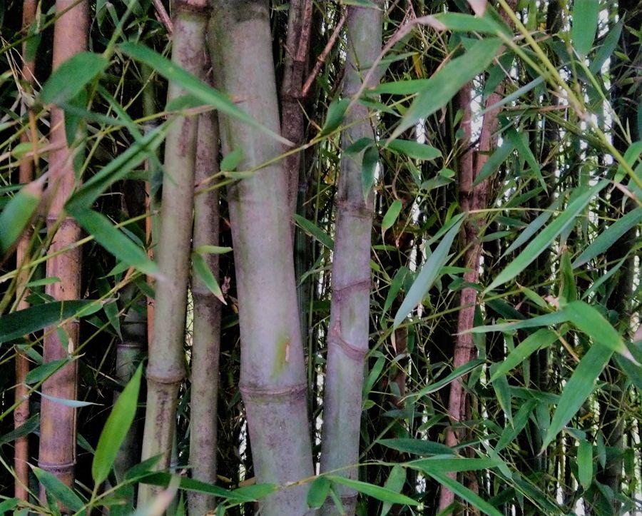 Bambus im Park des Château de Montcaud