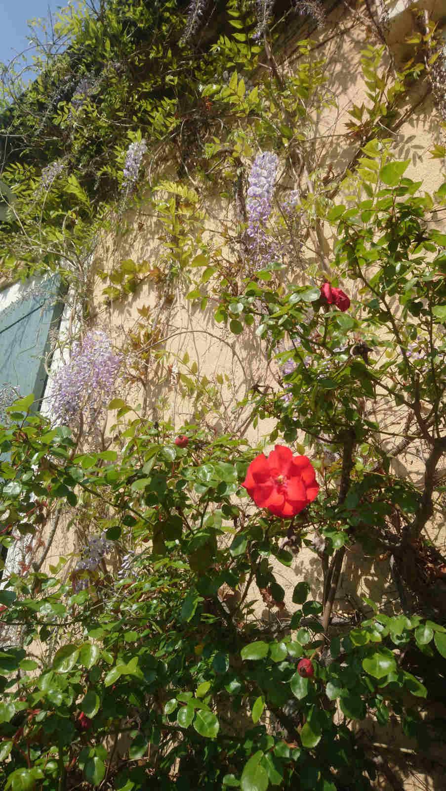 Rosen im Park des Château de Montcaud, Hotel Provence, Südfrankreich