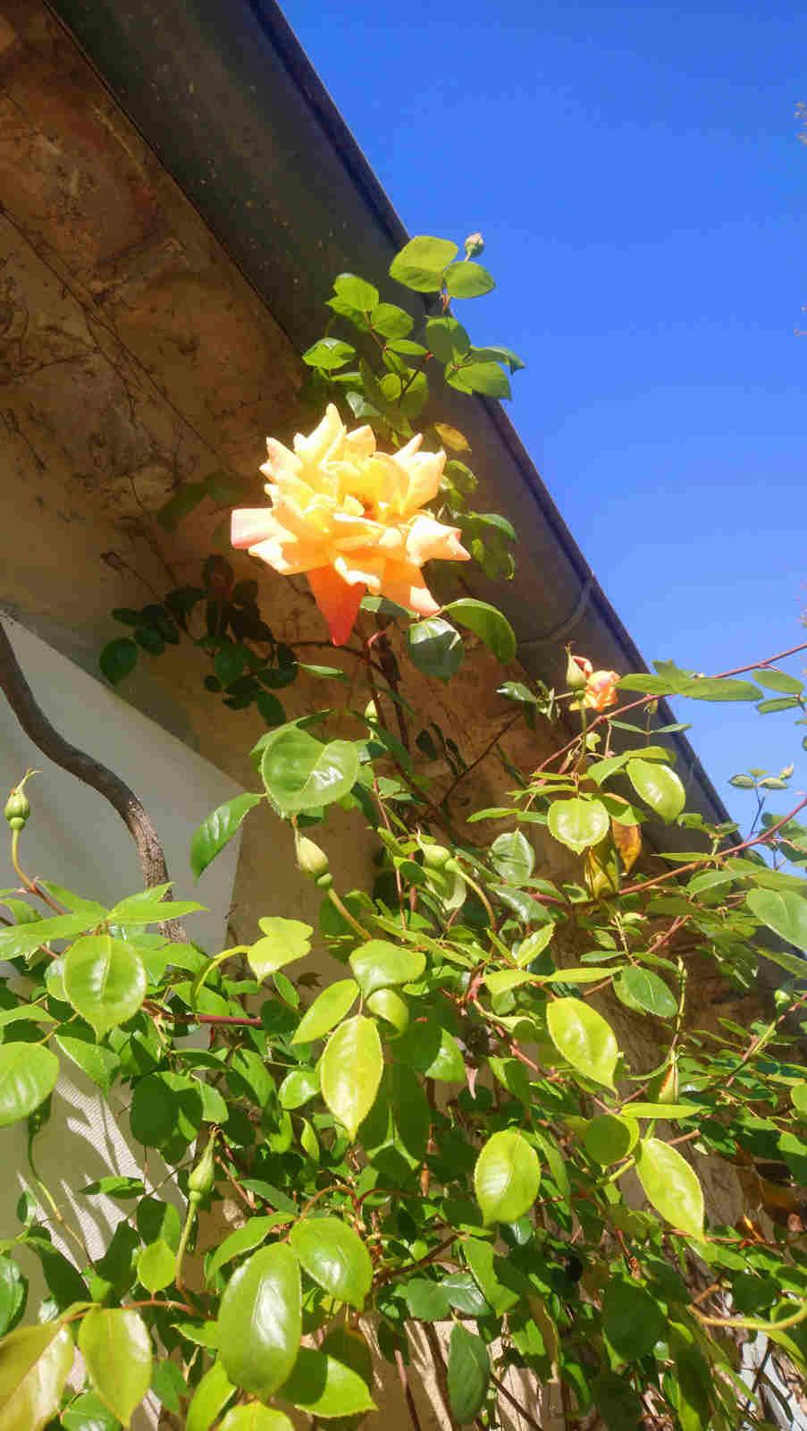 Rose im Park des Château de Montcaud, Hotel Provence Südfrankreich
