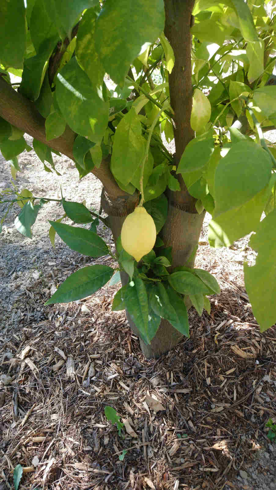 Lemons in the park, Château de Montcaud, hotel Provence South of France