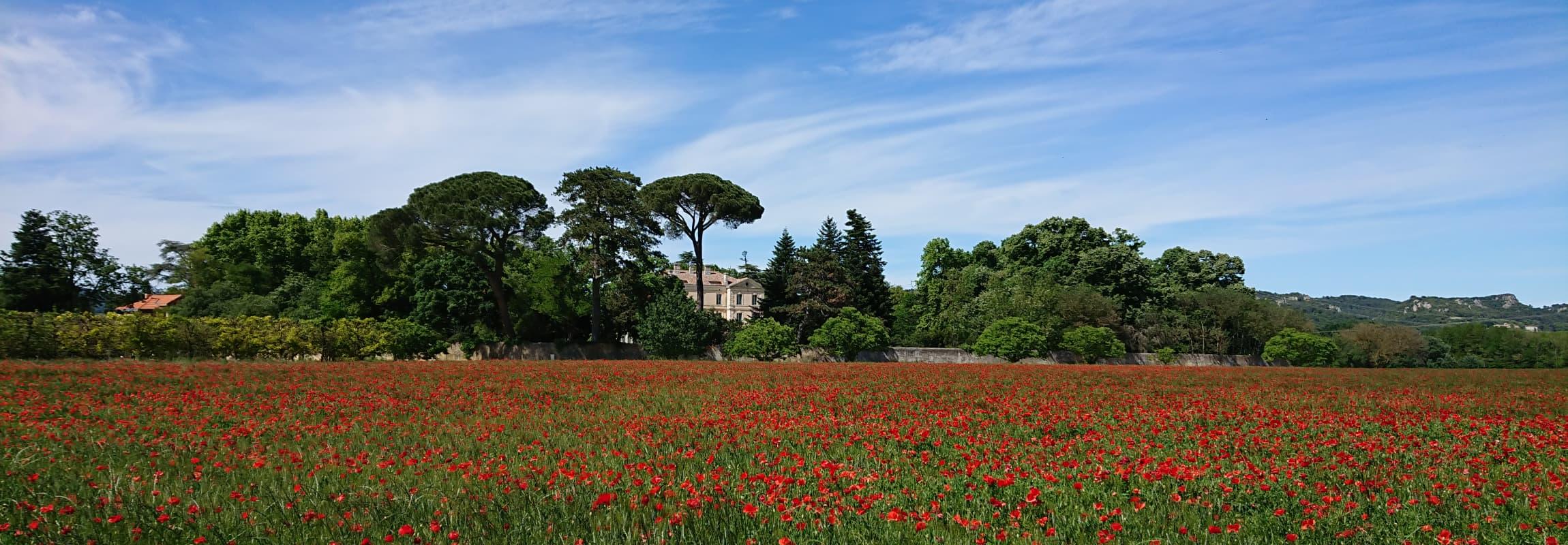 Poppies next to Château de Montcaud
